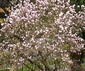 Magnolien: Blütenpracht in unserem Garten