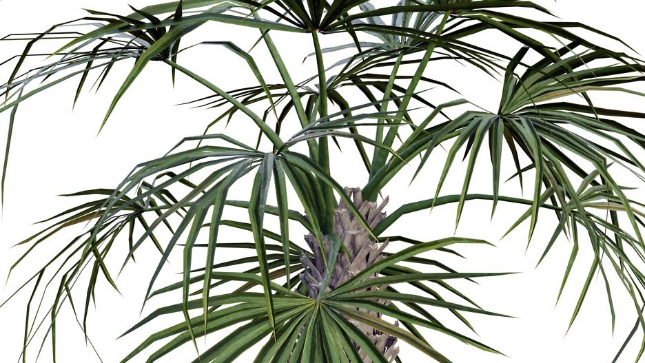 Palmettopalme (Sabal palmetto)