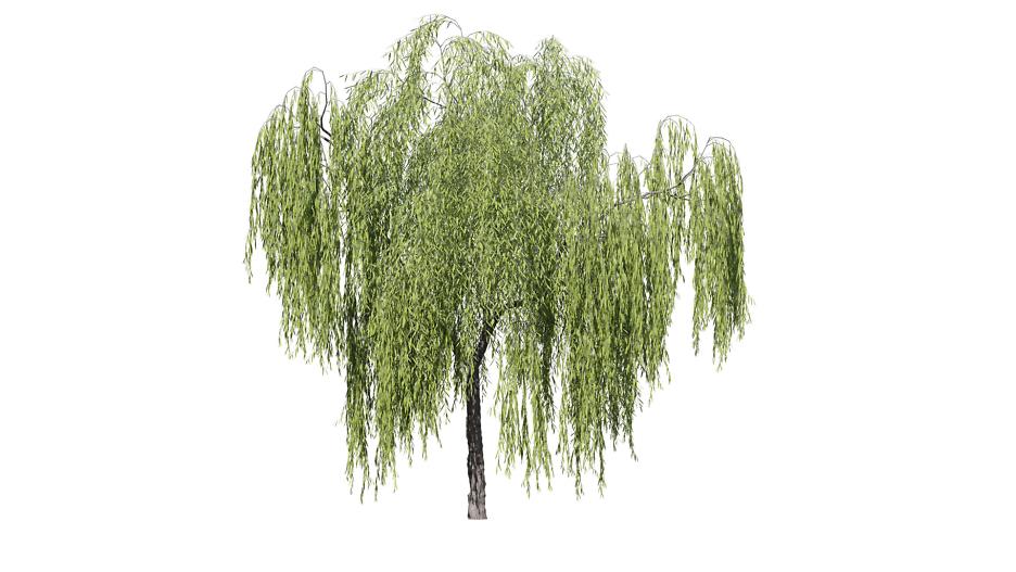 Echte Trauerweide: Baum 1